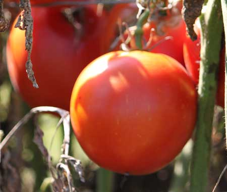 Post image for Tomato Disease Resistance Codes Decoded